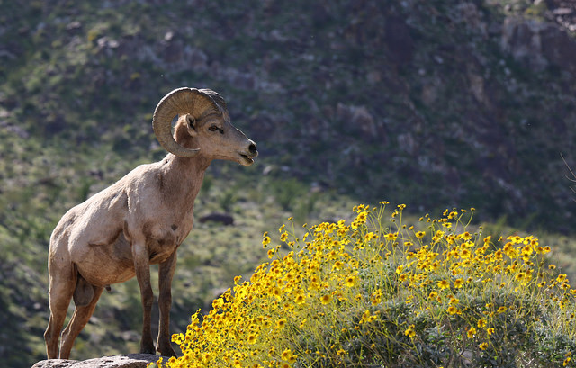 Anza Borrego Wildflowers and Big Horn Sheep